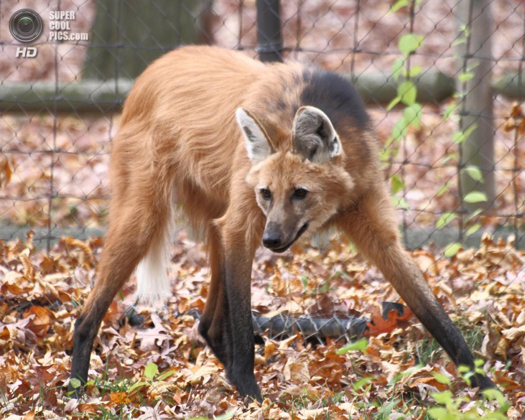 При случае гривистый волк нападает на домашнюю птицу; изредка может унести новорождённого ягнёнка или поросёнка. На людей гривистые волки не нападают. (Sage Ross)