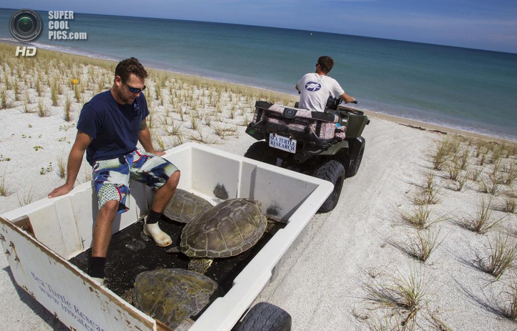 США. Форт-Пирс, Флорида. Биологи Джефф Гуэртин и Дэйв Кларк отвозят черепах на побережье. (Greg Lovett/The Palm Beach Post)