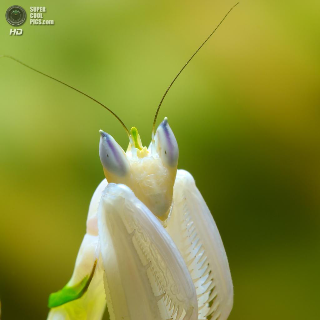 Орхидейный богомол. (Luc Viatour)