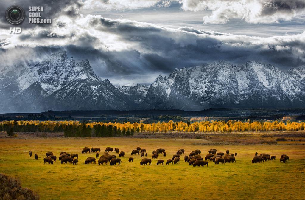 «Там, где бродит бизон». Место съемки: США. Гранд-Титон, Вайоминг. (Glen Hush/National Geographic Photo Contest)