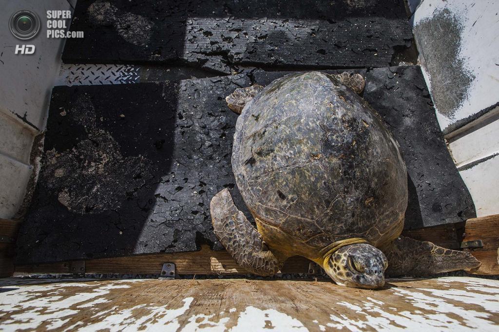 США. Форт-Пирс, Флорида. Зелёная черепаха в трейлере. (Greg Lovett/The Palm Beach Post)