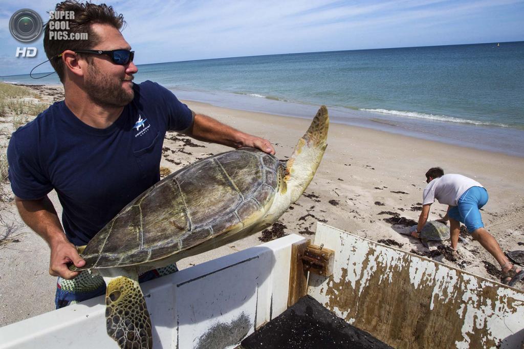 США. Форт-Пирс, Флорида. Биологи Джефф Гуэртин и Дэйв Кларк выносят черепах на побережье. (Greg Lovett/The Palm Beach Post)