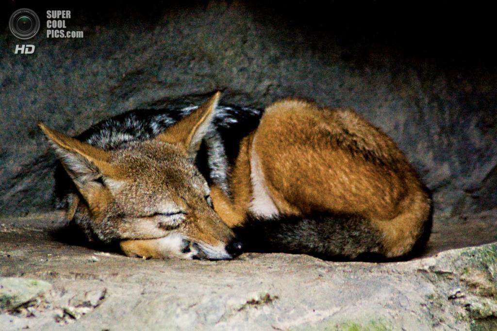 Несмотря на внешнее сходство с лисицами, гривистый волк не является их близким родственником. В частности, у него отсутствует характерный для лисьих вертикальный зрачок. (Dan Taylor)