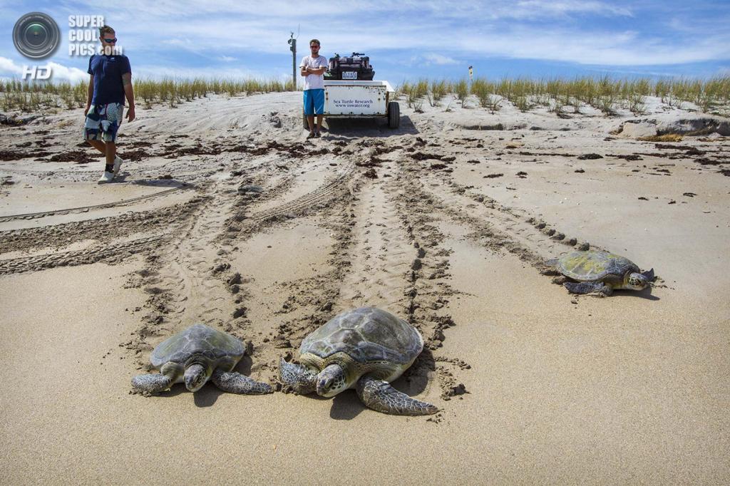 США. Форт-Пирс, Флорида. После всех приключений черепахи возвращаются в океан целыми и здоровыми. (Greg Lovett/The Palm Beach Post)