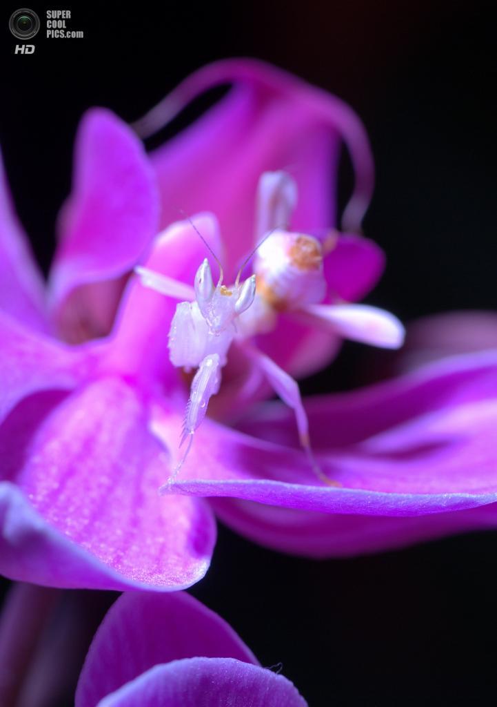 Орхидейный богомол. (pidocchietto)