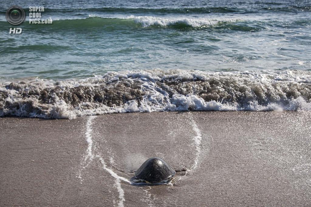США. Форт-Пирс, Флорида. Зелёная черепаха направляется в океан. (Greg Lovett/The Palm Beach Post)