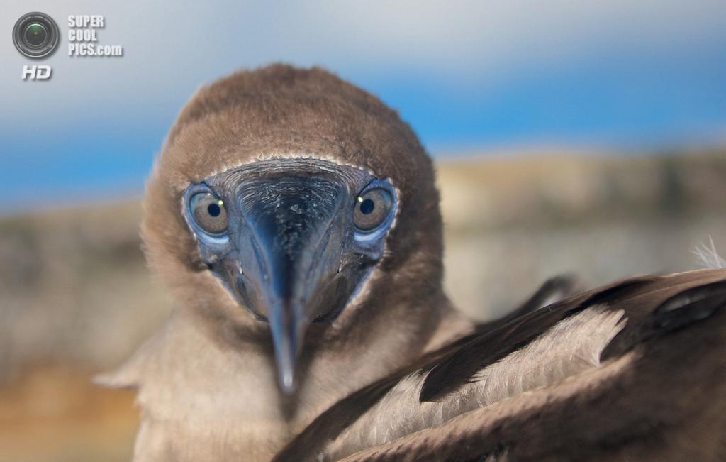 «Оскар, олуша». Место съемки: Эквадор. Галапагосские острова. (Joakim Wedlund/National Geographic Photo Contest)