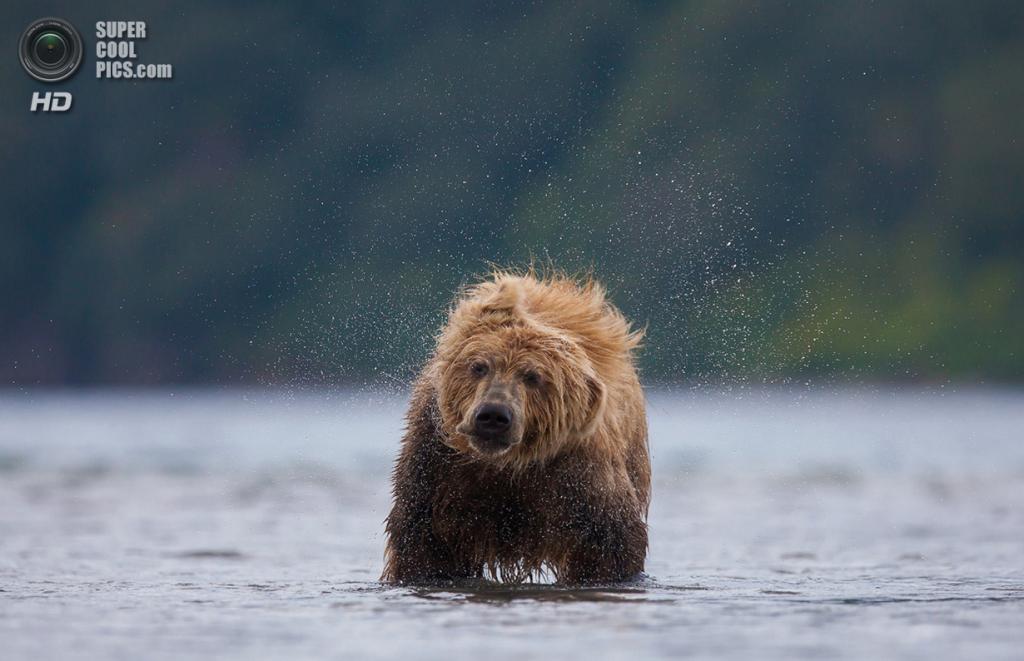 «Встряска». Место съемки: Россия. Камчатский край. (Robert Pfaffenbauer/National Geographic Photo Contest)