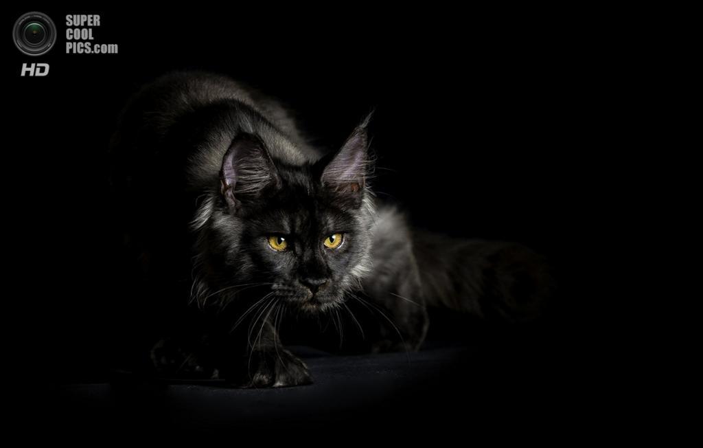 «Чёрный кот». (Robert Sijka/National Geographic Photo Contest)
