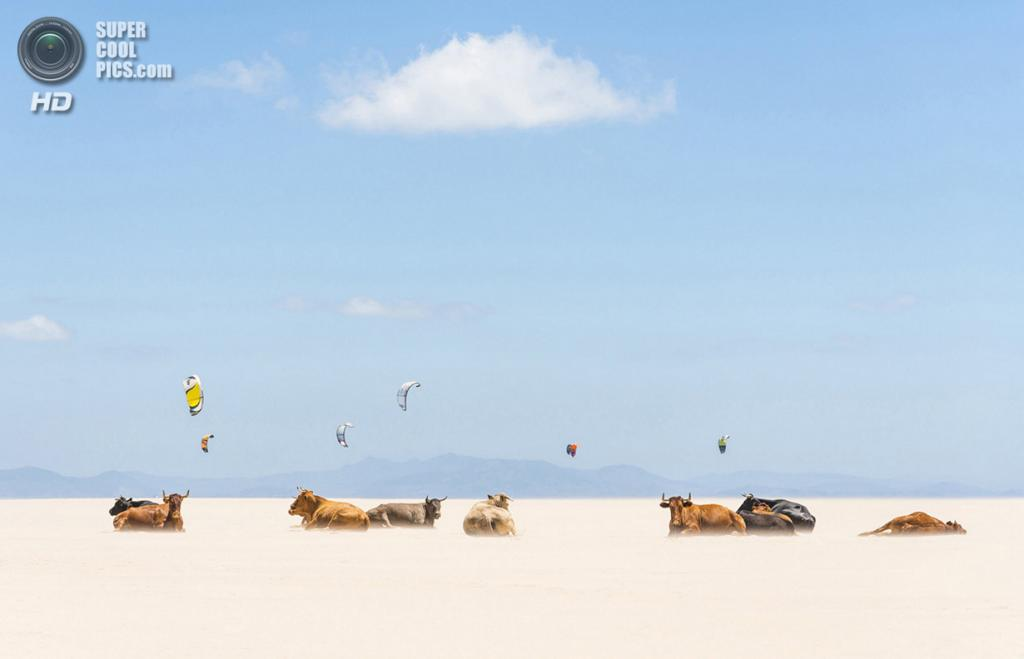 «Коровы и кайтеры». Место съемки: Испания. Тарифа, Андалусия. (Andrew Lever/National Geographic Photo Contest)