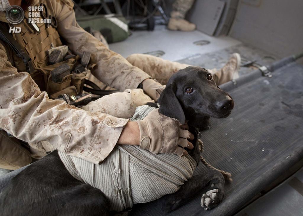 Афганистан. Гильменд. 3 июня 2011 года. Собака-ищейка, пострадавшая во время миссии. (AP Photo/Anja Niedringhaus)