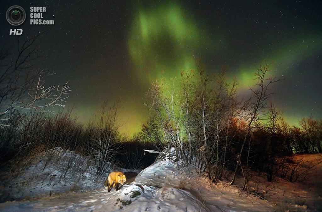 «Лисица и северное сияние». Место съемки: США. Бетел, Аляска. (Greg Lincoln/National Geographic Photo Contest)