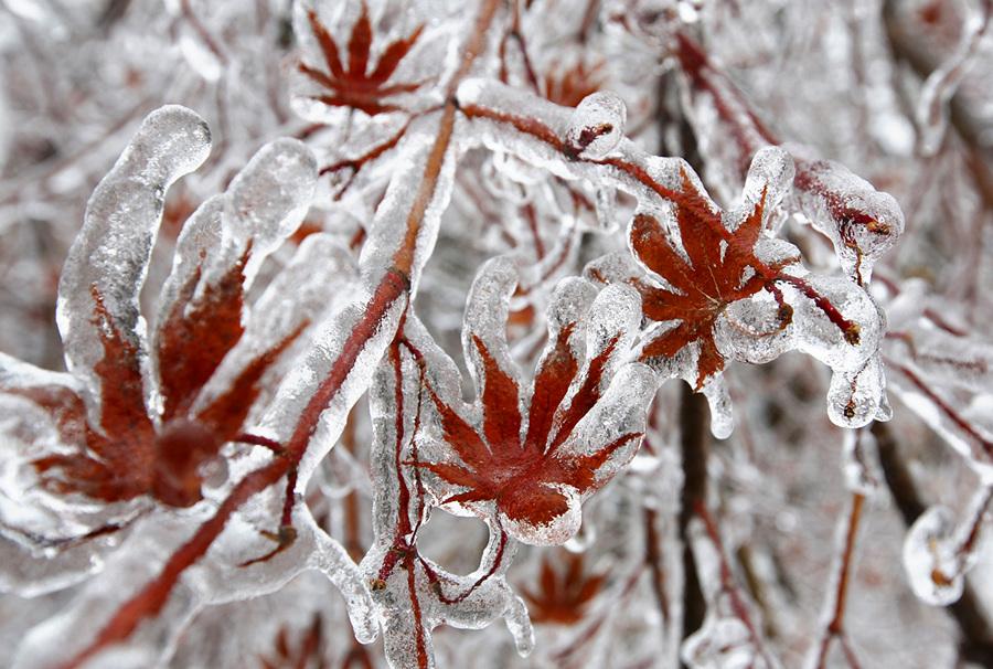 Канада. Торонто, Онтарио. 22 декабря. Изморозь на ветках и листьях японского клёна. (REUTERS/Chris Helgren)