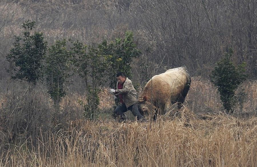 Китай. Шучэн, Аньхой. 15 декабря. Корова атакует фермера. (REUTERS/China Daily)