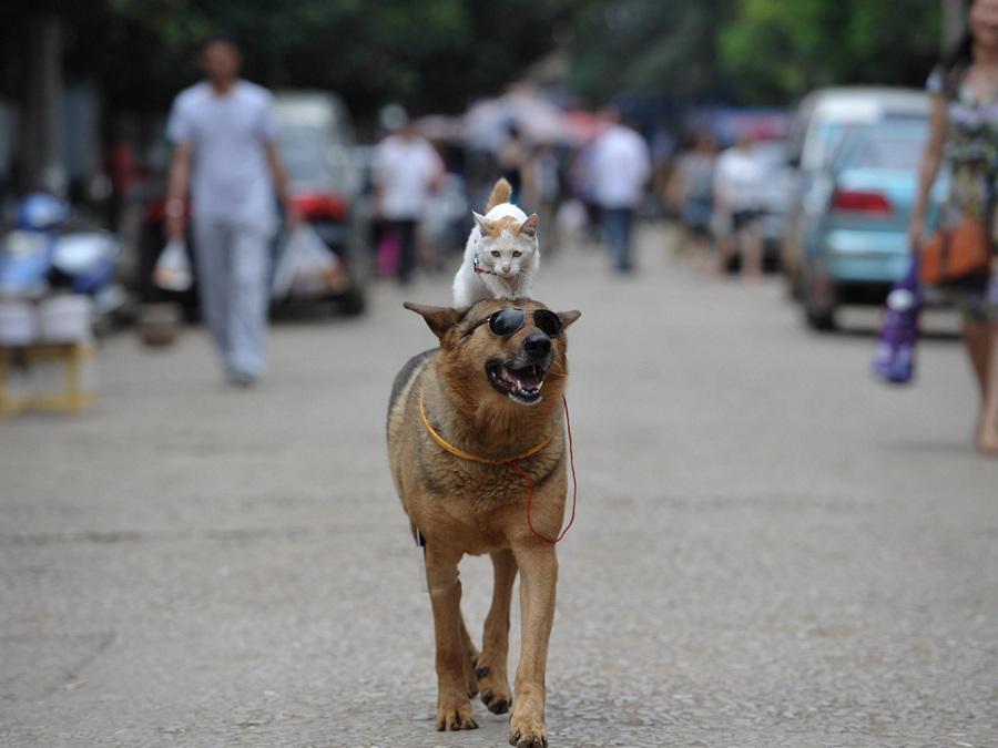 Китай. Куньмин, Юньнань. 23 июня. Неразлучные друзья — пёс Ванцай и кошка Мими. (REUTERS/Wong Campion) — Пост на сайте