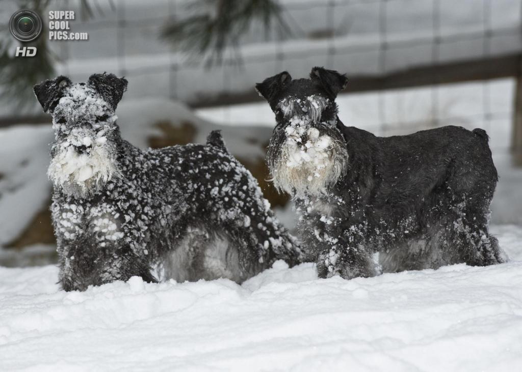 Снег — собачье счастье. (SheltieBoy)