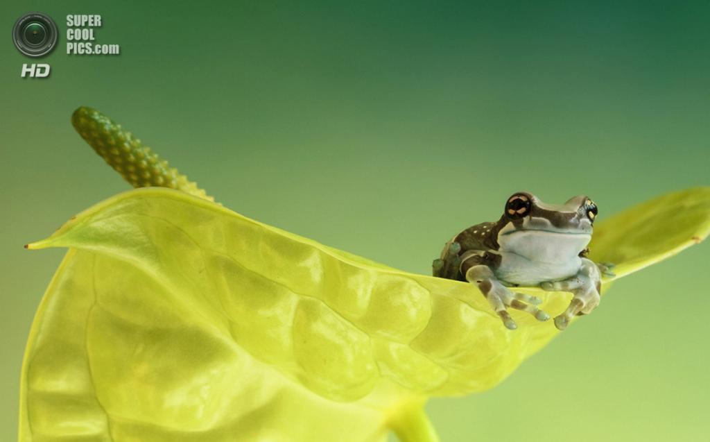Амазонская молочная лягушка. (Wil Mijer)