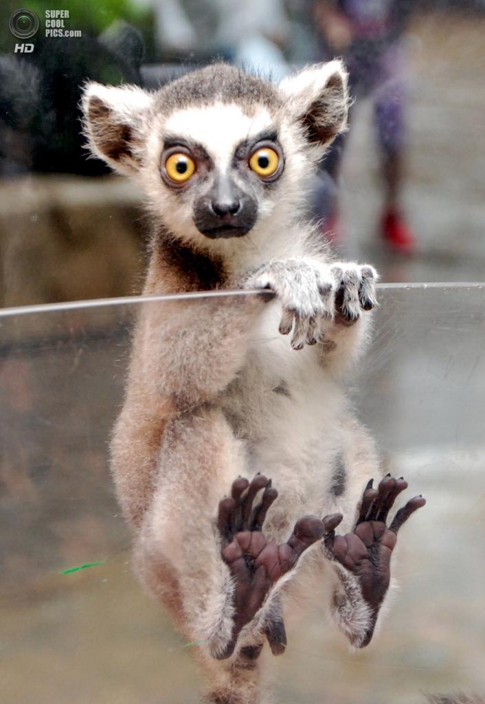 Южная Корея. Йонъин, Кёнгидо. Кошачий лемур в зоопарке Эверленд. (In Cherl Kim)
