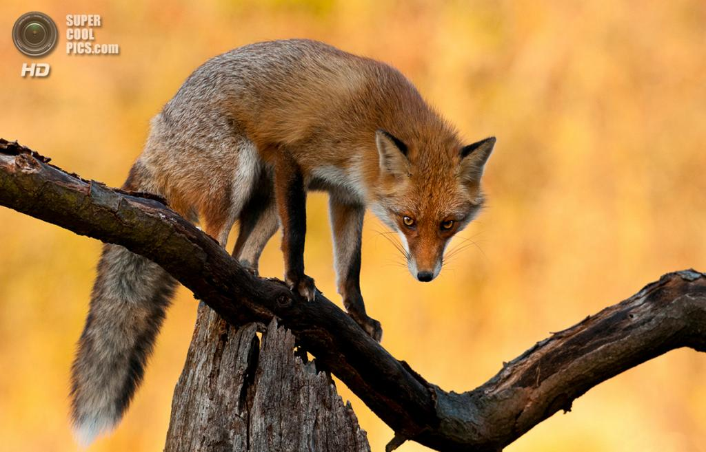 Рыжая лисица, или обыкновенная лисица. (Csaba Tökölyi)