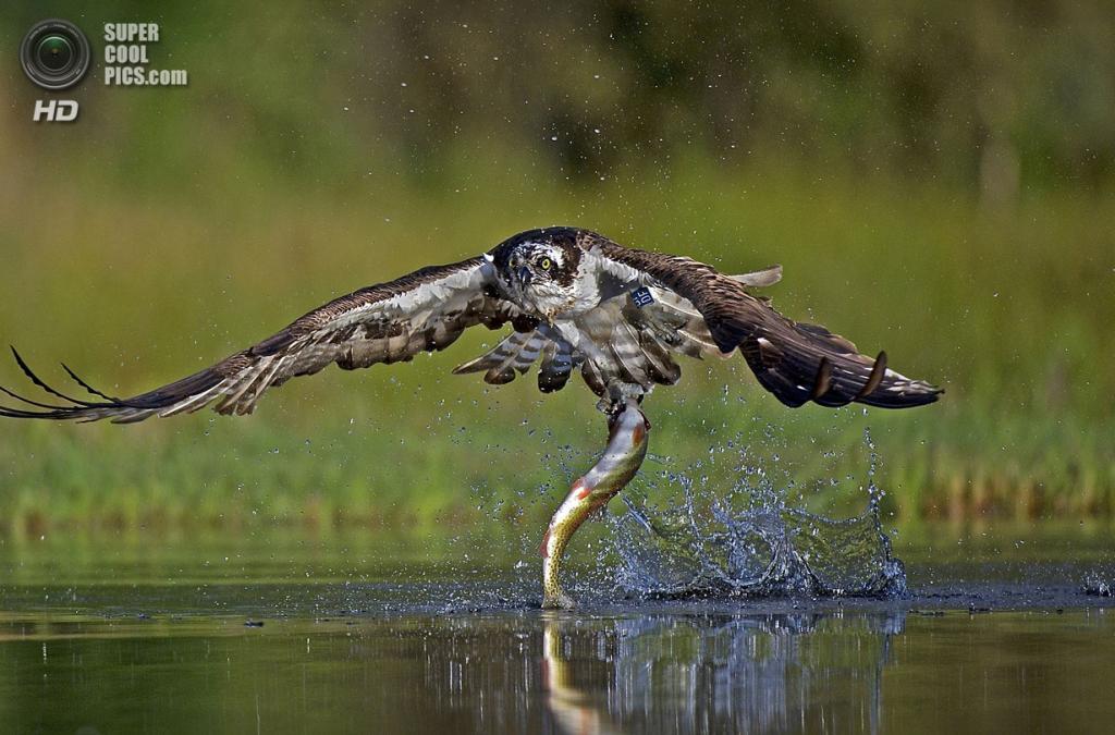 Скопа и ее улов. (Neil MacGregor/Scottish Seabird Centre)
