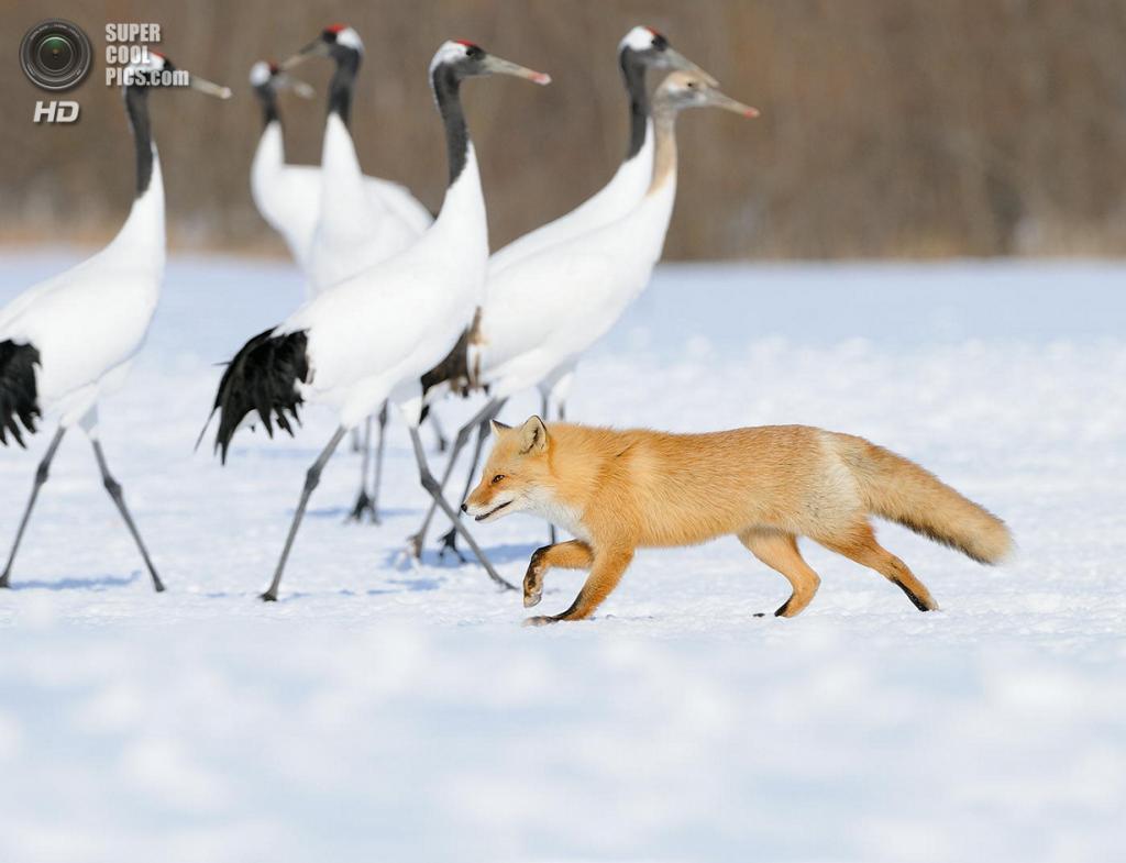 Рыжая лисица, или обыкновенная лисица. (Harry Eggens)