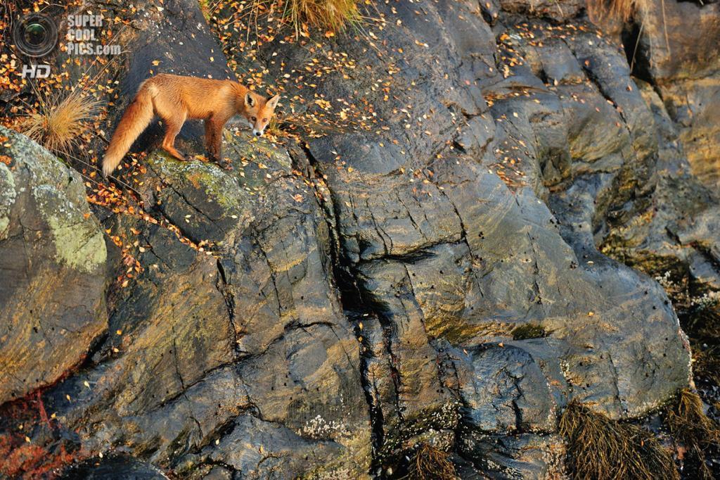 Рыжая лисица, или обыкновенная лисица. (Yves Adams)