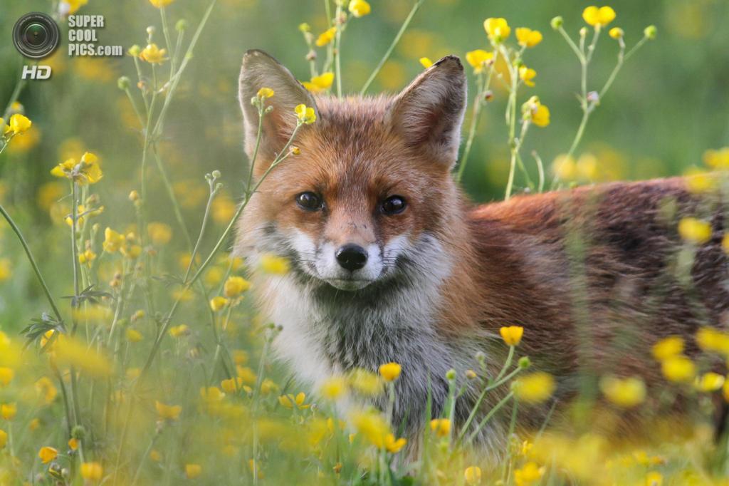 Рыжая лисица, или обыкновенная лисица. (Dan Belton)