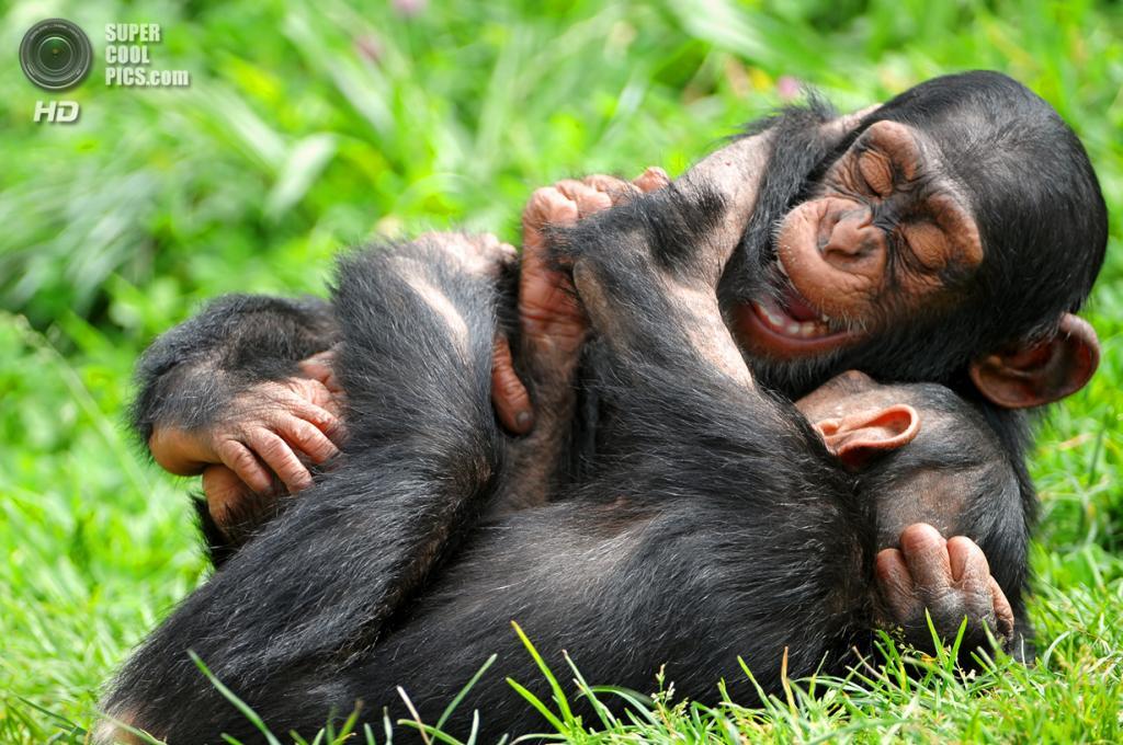 Шимпанзе. (Tambako The Jaguar)