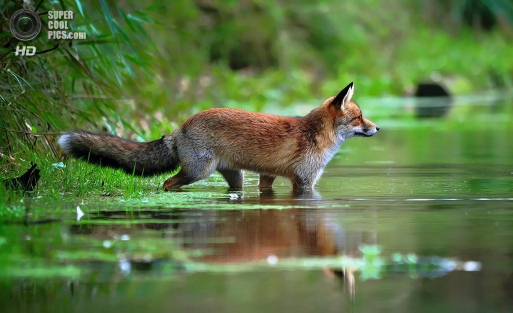 Рыжая лисица, или обыкновенная лисица. (Foto Foosa)