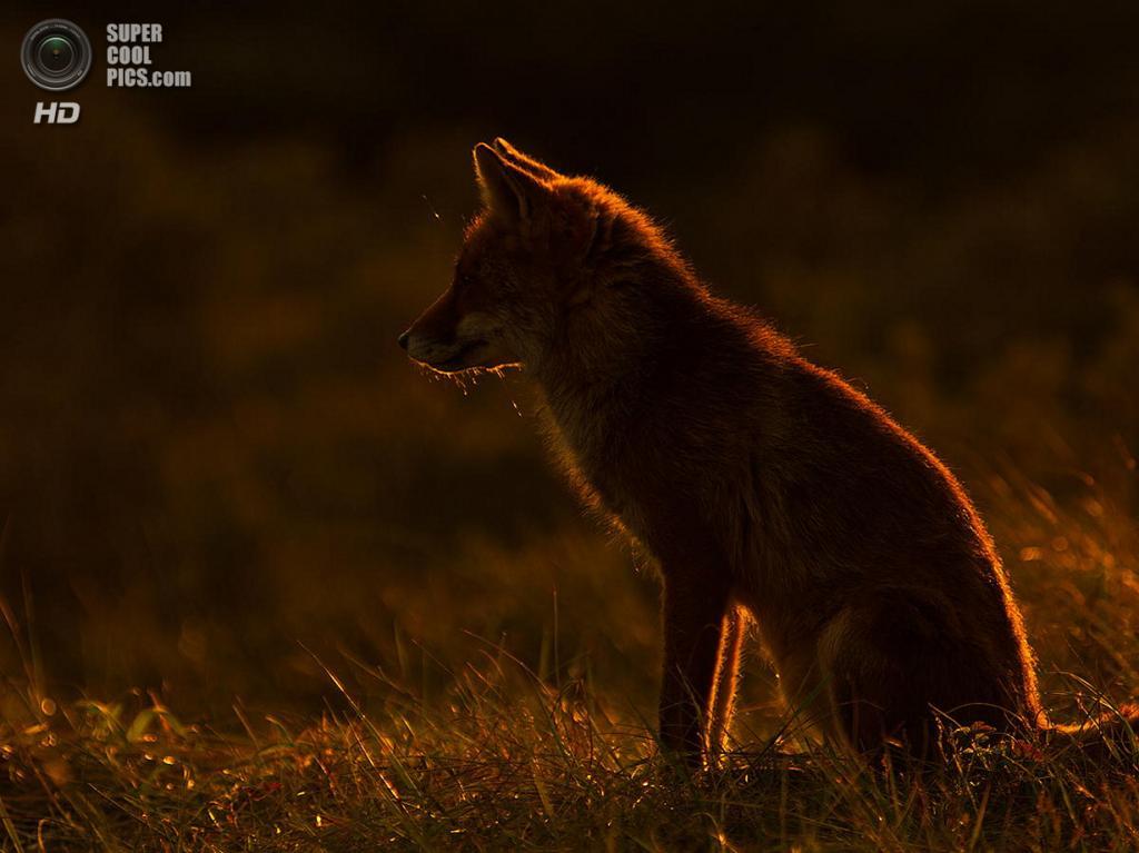 Рыжая лисица, или обыкновенная лисица. (Rob Janné)