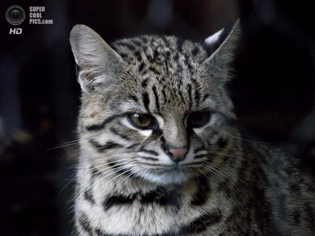 Кошка Жоффруа. (Matthew Wells)