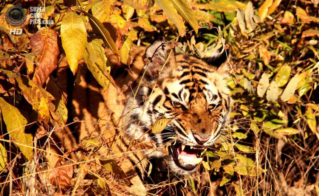 «Голодный взгляд». Место съемки: Индия. Бандхавгарх, Мадхья-Прадеш. (Vamini Sethi/National Geographic Photo Contest)