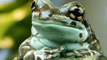 Амазонская молочная лягушка (7 фото)