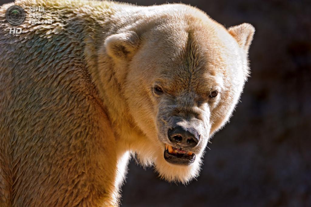 Белый медведь. (Tambako The Jaguar)