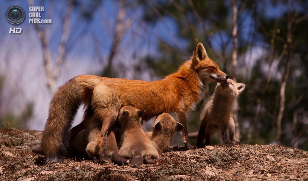 Рыжая лисица, или обыкновенная лисица. (Wesley Liikane)