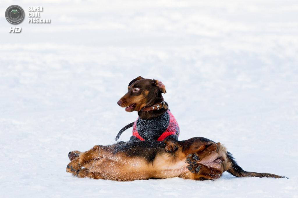 Снег — собачье счастье. (Artem Sapegin)