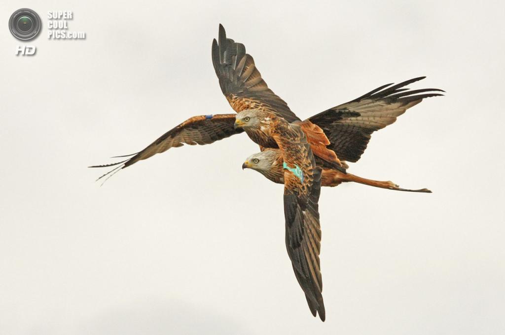 «Запутанные хищники». (Barry Forbes/Scottish Seabird Centre)