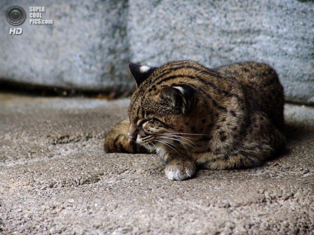 Кошка Жоффруа. (Joachim S. Müller)