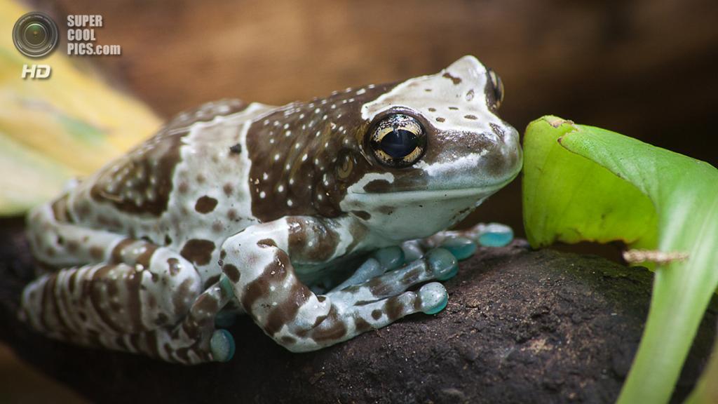 Амазонская молочная лягушка. (Leszek Leszczynski)