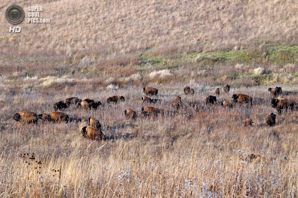 Бизоны. (Rick Hansen/USFWS)