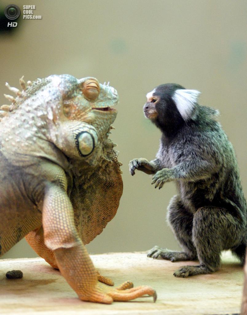Южная Корея. Йонъин, Кёнгидо. Зелёная игуана и обыкновенная игрунка в зоопарке Эверленд. (In Cherl Kim)