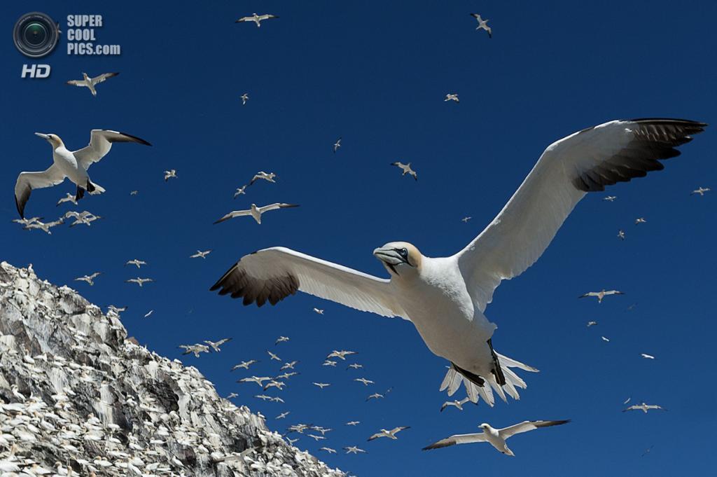 Олуши. (Alec Trusler/Scottish Seabird Centre)