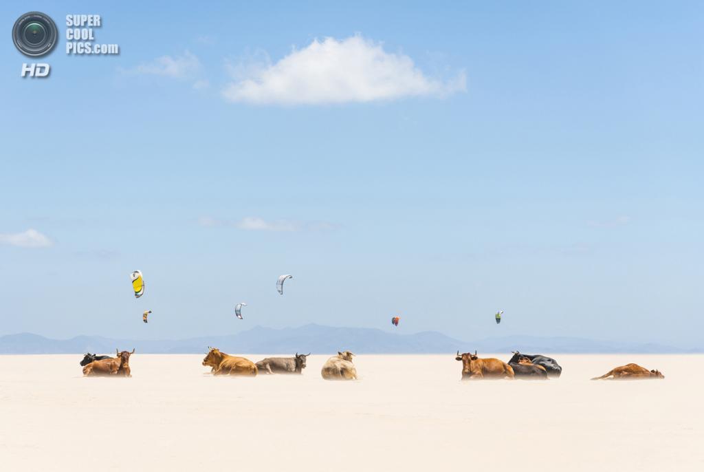 «Поощрительный приз». Загорающие коровы на фоне кайтеров. Место съемки: Испания. Тарифа, Андалусия. (Andrew Lever/National Geographic Photo Contest)