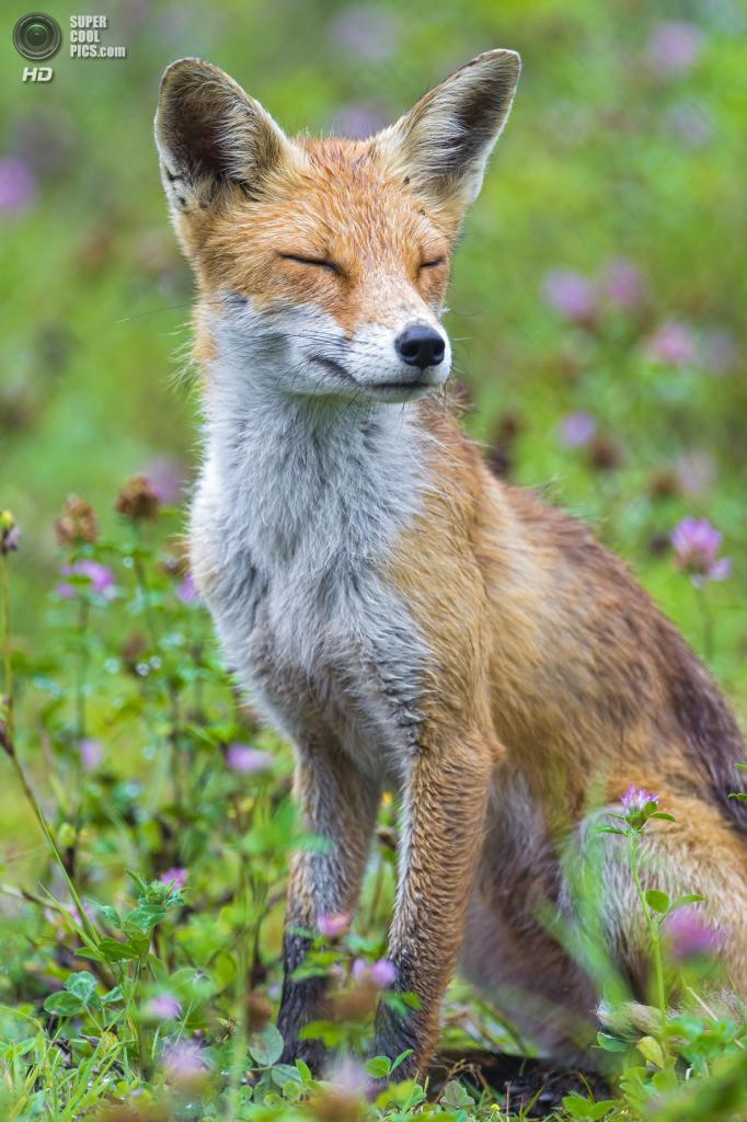 Рыжая лисица, или обыкновенная лисица. (Tambako the Jaguar)