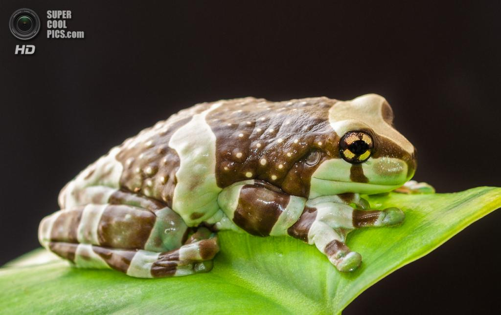 Амазонская молочная лягушка. (John Clare)