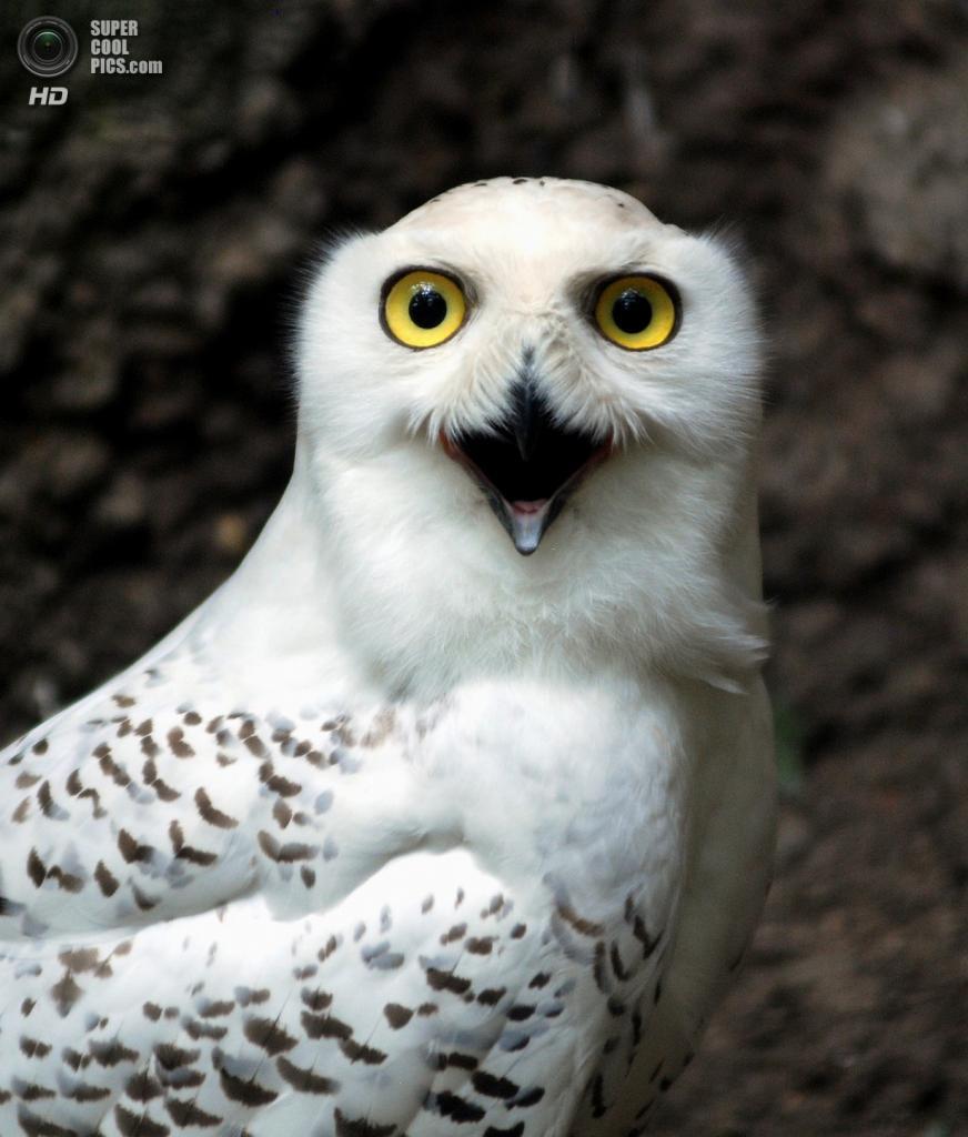 Южная Корея. Йонъин, Кёнгидо. Белая сова в зоопарке Эверленд. (In Cherl Kim)