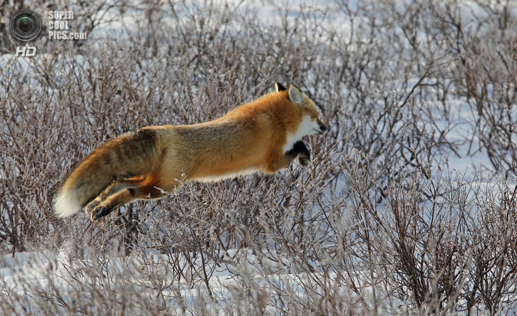 Рыжая лисица, или обыкновенная лисица. (Betty Rizzotti)