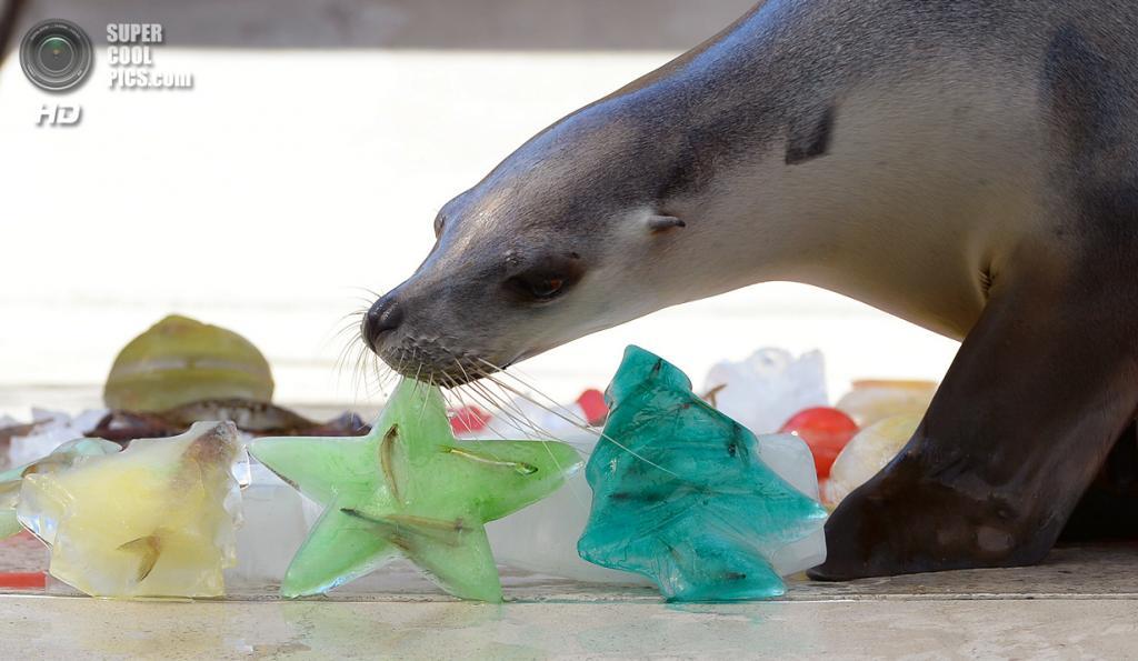 Австралия. Сидней. 20 декабря. Тюлень. (WILLIAM WEST/AFP/Getty Images)