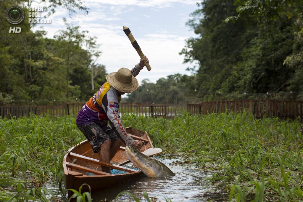 Бразилия. Солимойнс. 24 ноября. Ловля арапаимы. (REUTERS/Bruno Kelly) — Пост на сайте