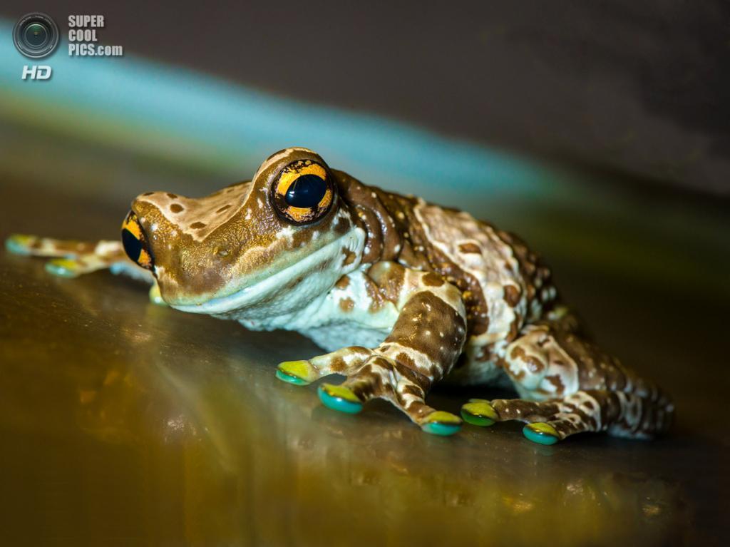 Амазонская молочная лягушка. (Bangern)